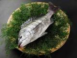 瀬戸内産 黒鯛(チヌ)