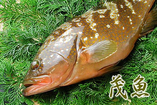 瀬戸内産 茂魚(石茂魚)
